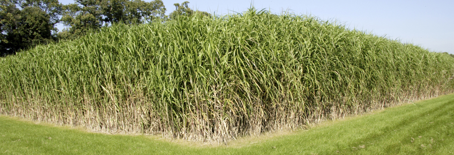 MIscanthus_Formatted_1_