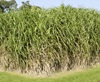 Vign_MIscanthus_Formatted_1_
